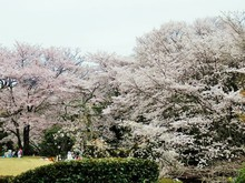 道の駅近隣 桜の名所(3)童子山公園