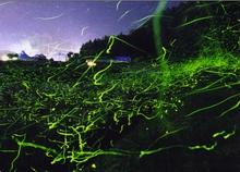 5月下旬 ホタル観賞(西脇市、畑谷川沿い)飛翔状況は紹介ページにて。