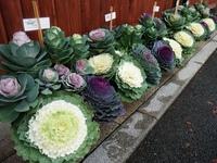 11月中旬~ 葉牡丹市(はぼたんいち)開催!