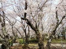 道の駅近隣 桜の名所(1)西脇公園